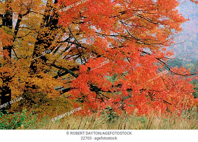 Red Maple. Vermont. USA