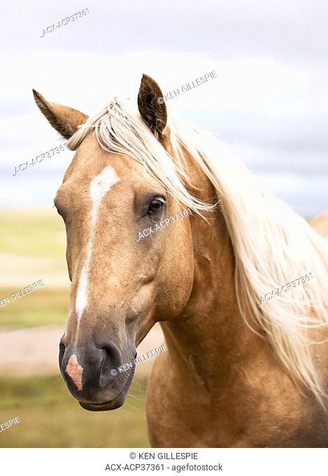 Close up portrait of a horse on the Canadian Prairie. Big Muddy Badlands, Saskatchewan, Canada