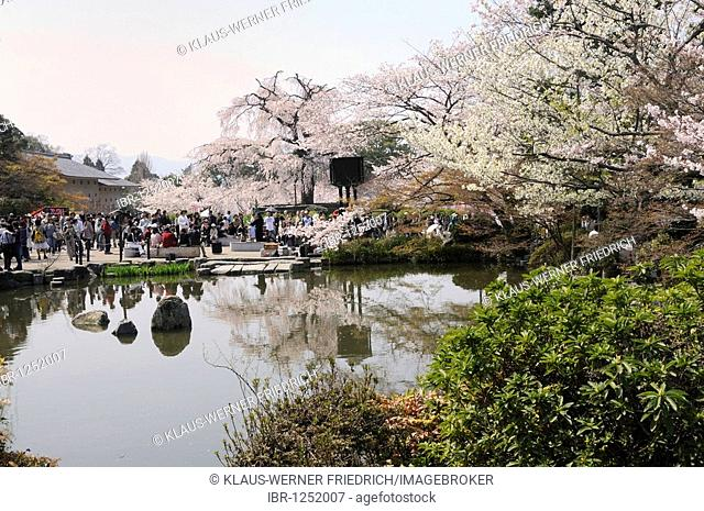 Cherry Blossom Festival in Maruyama Park, Kyoto's oldest cherry tree, Kyoto, Japan, East Asia, Asia