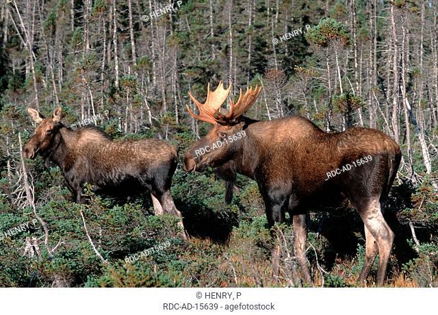 Moose pair Gros Morne national park Newfoundland Canada Alces alces side