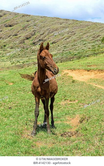 Horse in the Rano Raraku crater, Rapa Nui National Park, Easter Island, Chile