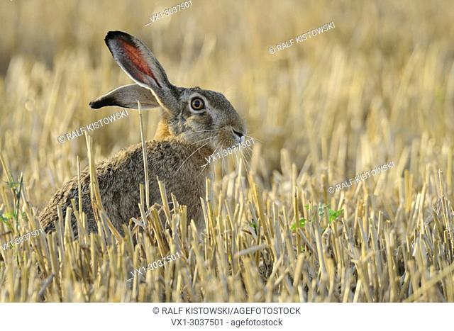 Attentive Brown Hare / European Hare ( Lepus europaeus ) with long ears and wide open eyes sits in a stubble field, wildlife, Europe