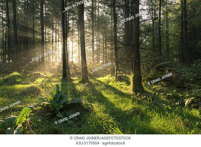The rising sun in a coniferous forest, Stockhill Wood, Mendip Hills Area of Outstanding Natural Beauty, Somerset, England
