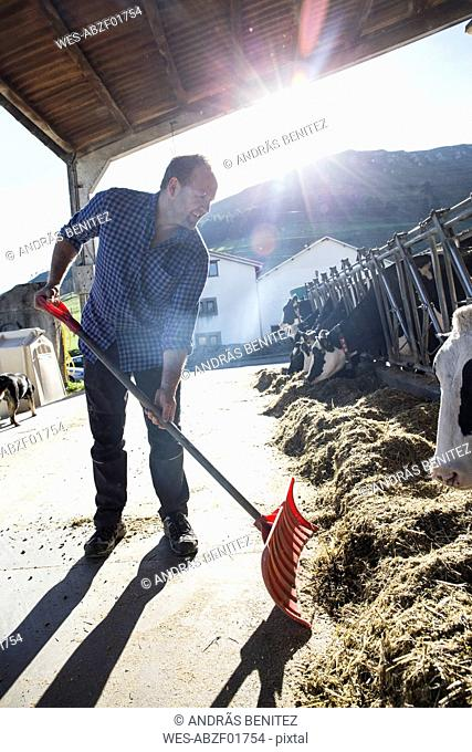Farmer using a shovel to bring food closer to the cows on a farm