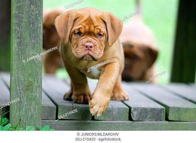 Bordeaux Mastiff, Bordeauxdog. Puppy walking on wooden planks. Germany