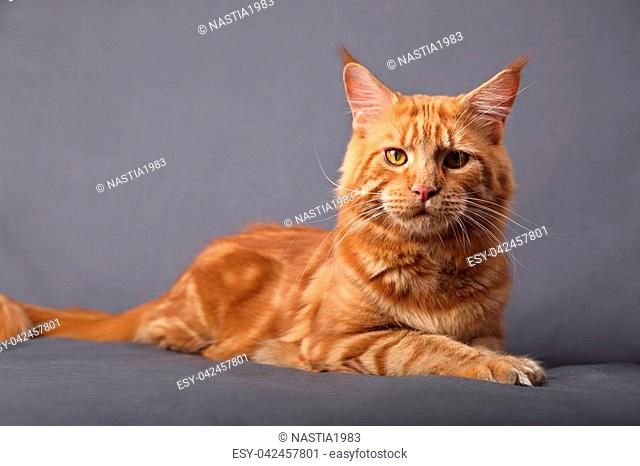 Male red solid maine coon cat lying with beautiful brushes on the ears on grey background. Closeup portrait