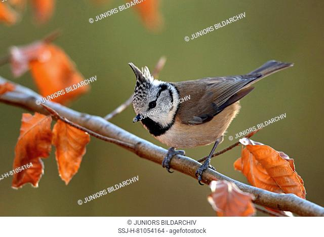 European Crested Tit (Lophophanes cristatus). Adult perched on Beech twig in winter. Germany