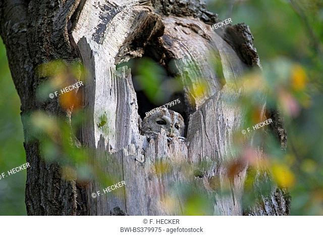 Eurasian tawny owl (Strix aluco), resting in a tree hole in the daytime, Germany