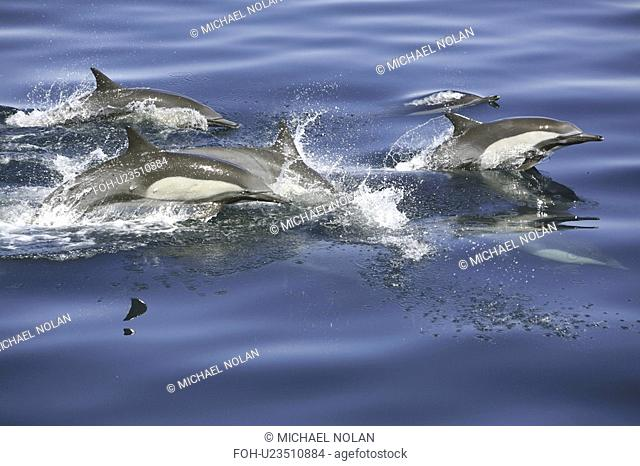 Long-beaked common dolphin Delphinus capensis pod in the calm waters off Isla del Carmen in the Gulf of California Sea of Cortez, Baja California Sur, Mexico