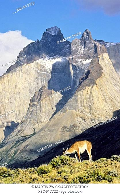 Guanaco Lama guanicoe standing with the landmark Cuernos del Paine in the background, Chile   Guanaco is a camelid and closely related to the domestic Lama and...