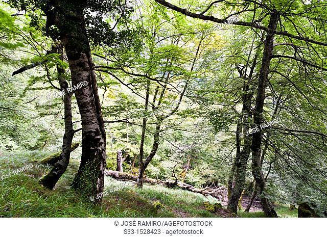Beech trees in Brez  Cordillera Cantábrica  Santander  Cantabria  Spain