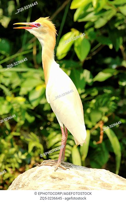 Cattle Egret in Plumage, Bubulcus ibis, Ranganathittu Bird Sanctuary, Karnataka, India