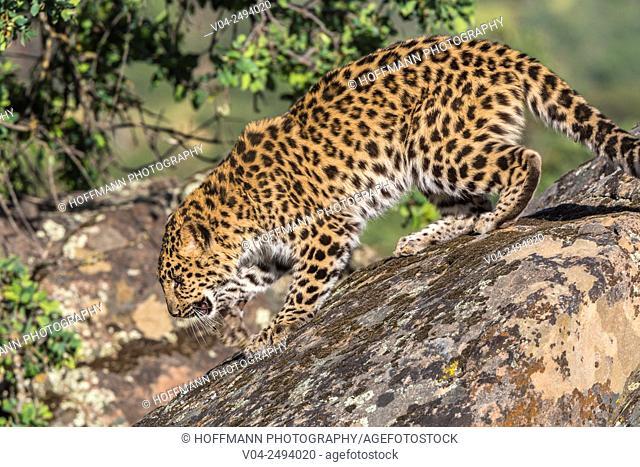Curious Amur leopard (Panthera pardus orientalis) on a rock, captive, California, USA