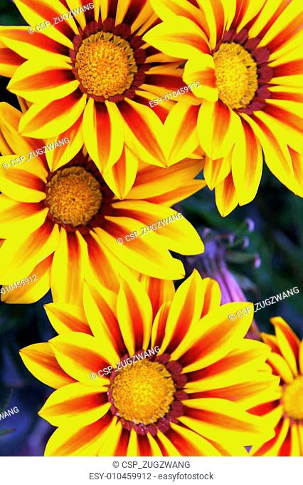 Gazania Tiger Stripes garden flowers