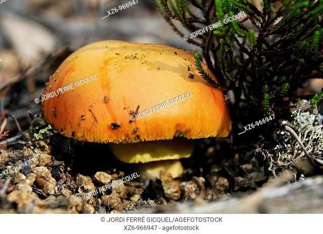 Caesar's Mushroom, oronja, reig, amanita caesarea, edible