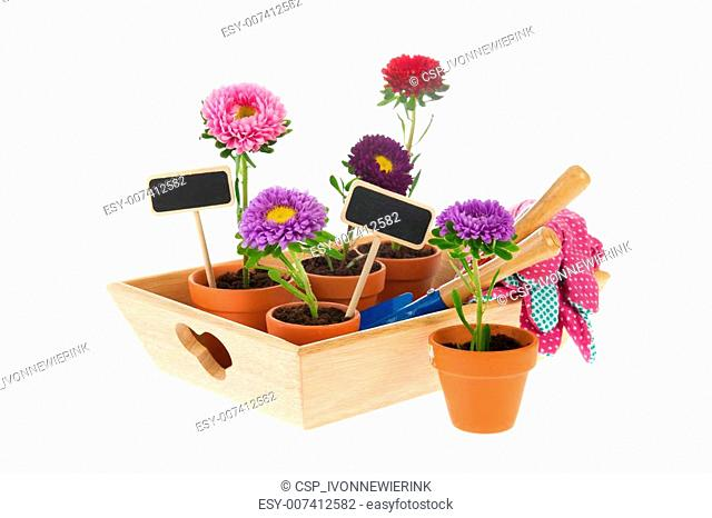Gardening with asters