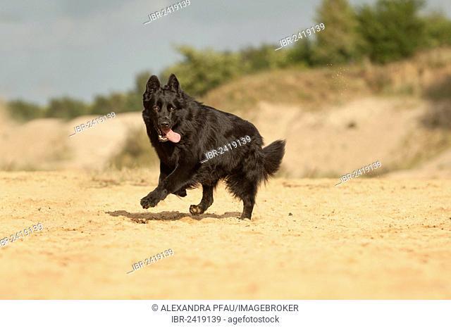 Galloping German Shepherd