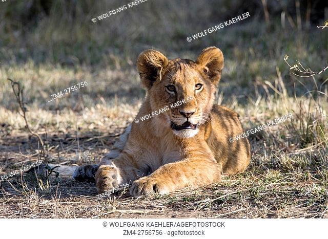 A lion cub (Panthera leo) in the Masai Mara National Reserve in Kenya