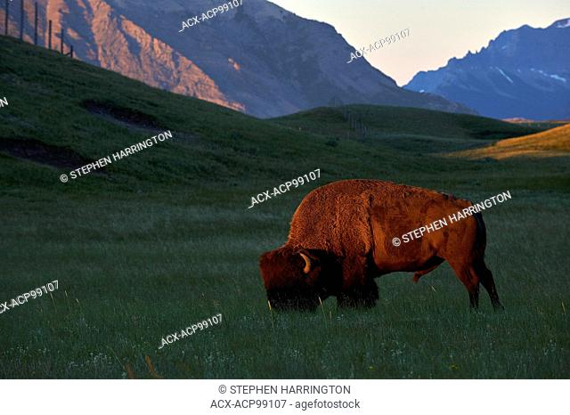 Buffalo, bison bison Morning Light, Waterton Lakes National Park, Alberta, Canada