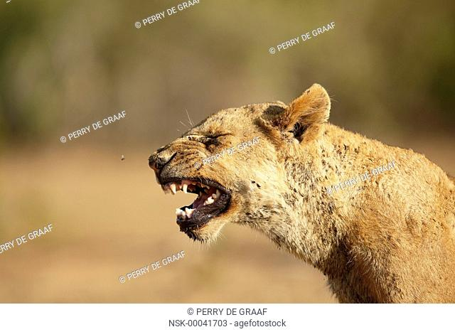 Lion (Panthera leo) sub-adult yawning, South Africa, Mpumalanga, Kruger National Park