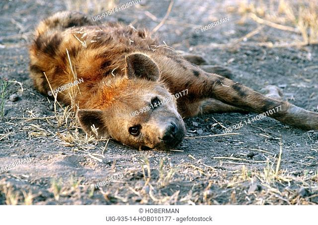 Resting Spotted Hyena, Kgalagadi Transfrontier Park, South Africa