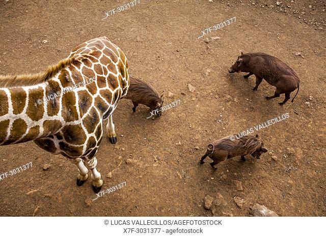 Langata Giraffe Centre, Giraffa camelopardalis ssp. rothschildi and Phacochoerus africanus, Nairobi, Kenya