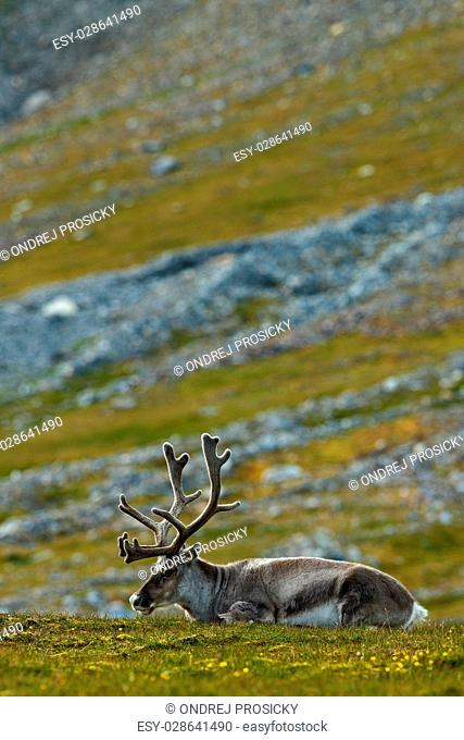 Svalbard Reindeer, Rangifer tarandus