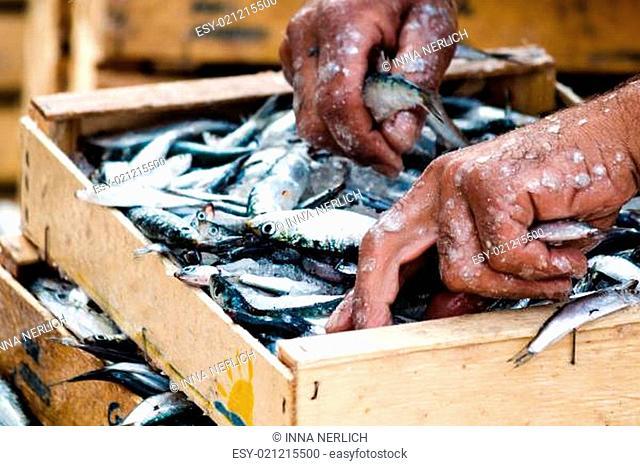 Fischer verpackend frische Fische in die Holzkiste