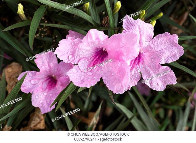 Flower taken at home garden, Kuching, Sarawak, Malaysia