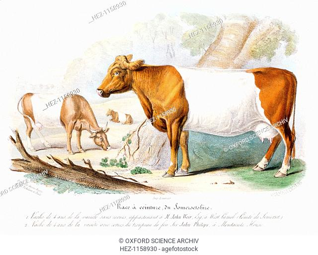 Somerset cows, 1842. Polled (with horns removed) variety belonging to John Weir of West Camel and a horned cow from the herd at Montacute House near Yeovil