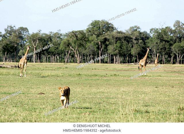 Kenya, Masai-Mara game reserve, lion (Panthera leo), lioness walking in the savannah in front of some giraffes