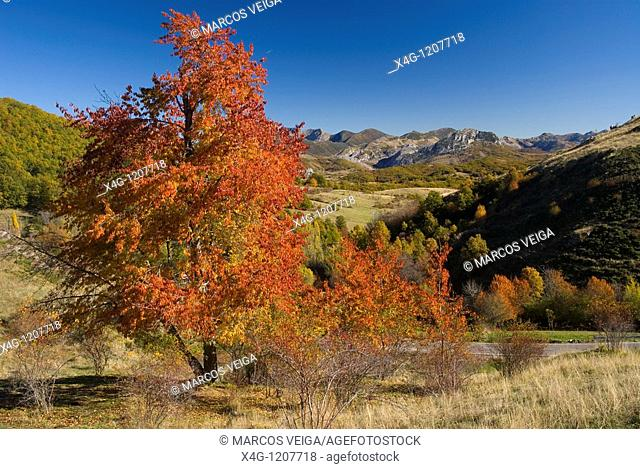 Autumnal landscape with a red colored cherry tree and Mampodre game reserve mountains  Leon, Spain