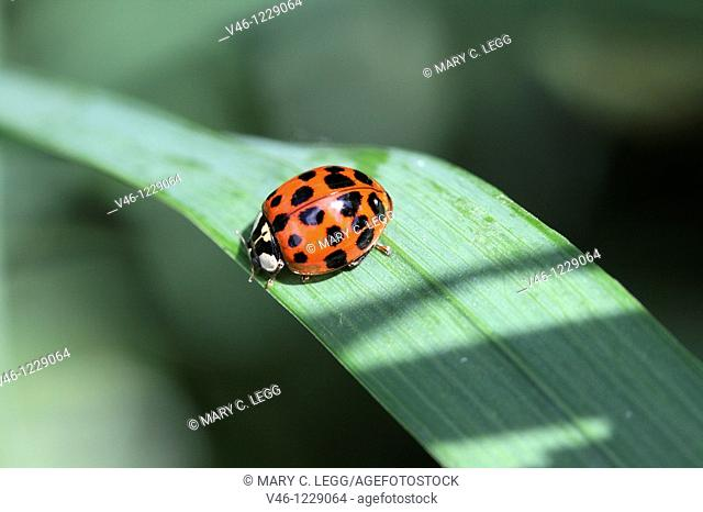 Harlequin Ladybird, Harmonia Axyridis var  succinea, Many-spotted red ladybird  Sometimes it can be conused with aother ladybirds because the elytra color can...