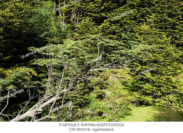 Magellanic subpolar forest, ecoregion consisting primarily of Nothofagus trees (pumilio, betuloides) and peat bogs. Tierra del Fuego National Park, Ushuaia