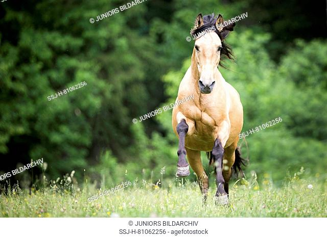 Pure Spanish Horse, Andalusian. Dun stallion galloping on a pasture. Austria