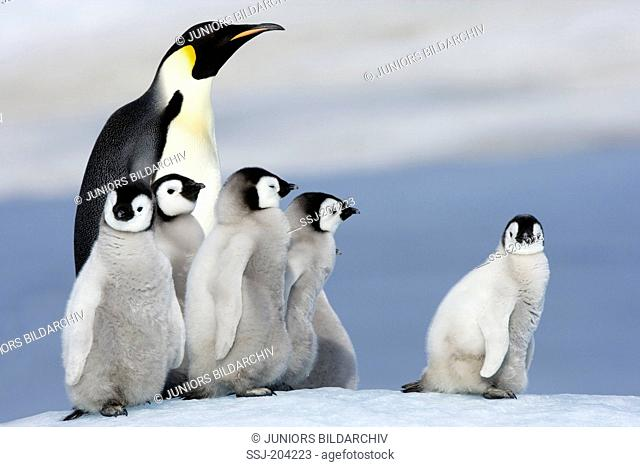 Emperor Penguin (Aptenodytes forsteri). Adult and chicks on ice. Snow Hill Island, Antarctica