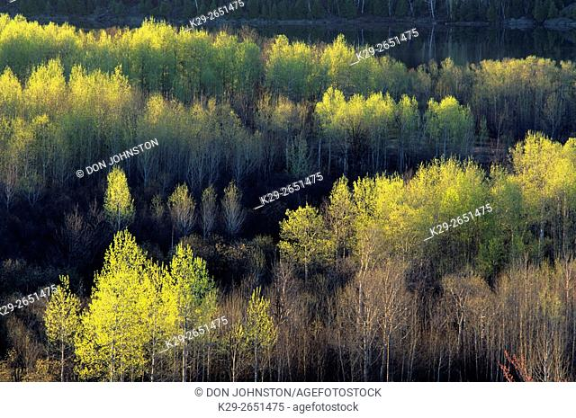 Ridges of aspen trees with early spring foliage , Greater Sudbury, Ontario, Canada