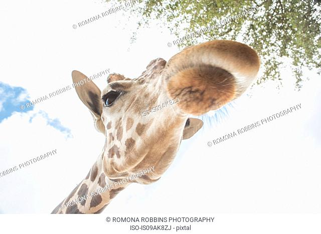 Low angle close up portrait of a giraffe