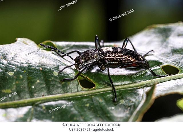 Beetle. Image taken at Kampung Skudup, Kuching, Sarawak, Malaysia