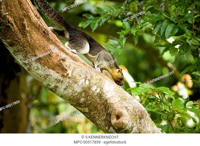 Cream-colored Giant Squirrel (Ratufa affinis) male climbing down tree trunk, Sepilok Forest Reserve, Sabah, Borneo, Malaysia