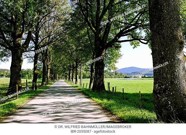 Tree-lined road at Schloss Wallenburg castle, Miesbach, Upper Bavaria, Bavaria, Germany, Europe