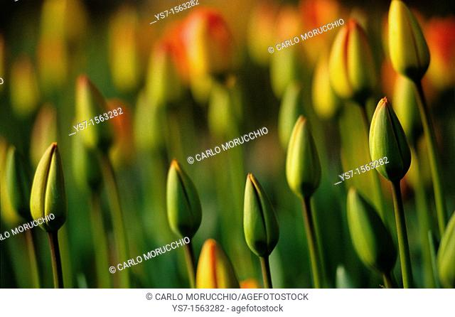 Tulips blossom in Aalsmeer surroundings, The Netherlands, Europe