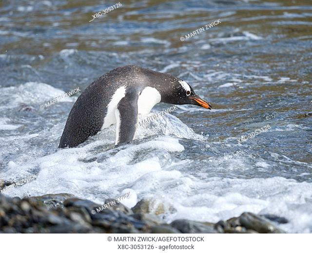 Gentoo Penguin (Pygoscelis papua) on pebble beach in Godthul on South Georgia. Antarctica, Subantarctica, South Georgia, October