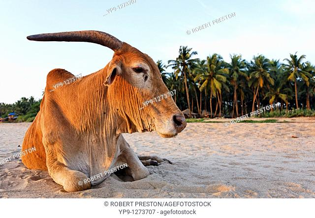 Cow on the beach, India - Goa - Agonda Beach -
