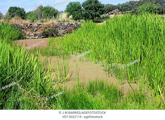 Branched Bur-reed (Sparganium erectum) perennial plant native to Mediterranean Region and Asia. Azolla filiculoides on water