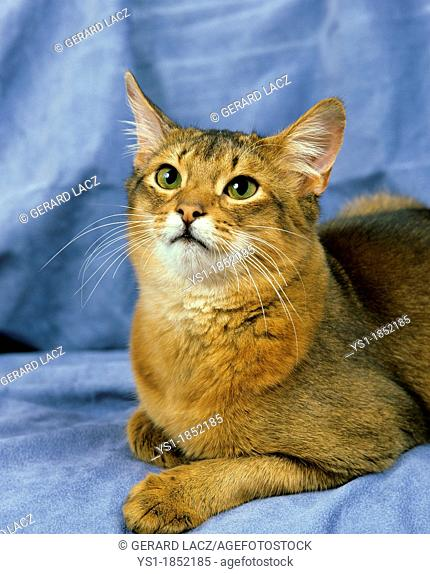 Blue Somali Domestic Cat laying against Blue background
