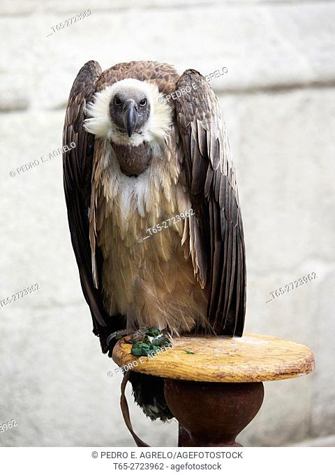 Griffon vulture (Gyps fulvus) in an exhibition of falconry, Lugo, Spain