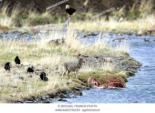 Coyote (Canis latrans), feeding on elk carcass in river with ravens and bald eagle during spring Yellowstone National Park Wyoming