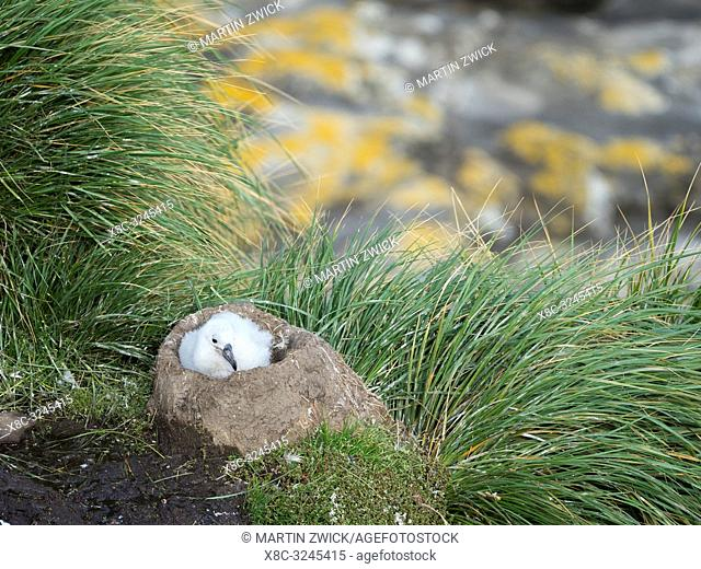 Chick on tower shaped nest. Black-browed albatross or black-browed mollymawk (Thalassarche melanophris). South America, Falkland Islands, January