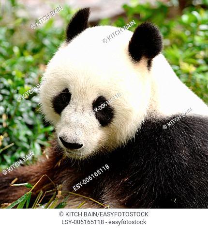 A close up shot of a giant panda